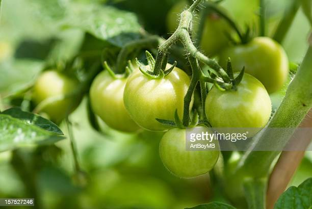 Verde Tomatos