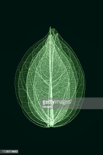 green toned multi-layered leaf vein skeleton - bladnerf stockfoto's en -beelden
