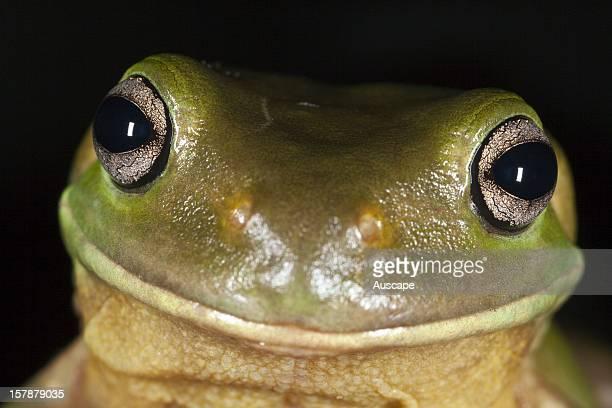 Green tree frog close portrait Townsville Queensland Australia