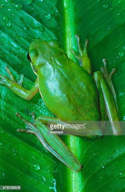 Green tree frog Hyla cinerea on leaf back view Can change color rapidly to yellow grey or green Sometimes called 'rain frog' for its call just before...