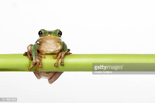 Green tree frog ,Hyla cinerea