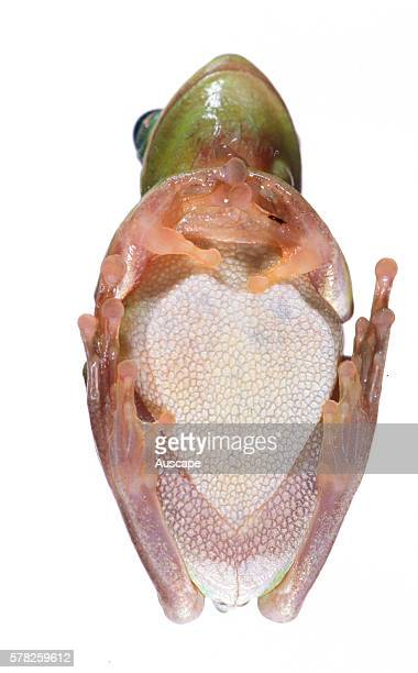 Green tree frog Hyla cinerea seen from underneath Can change color rapidly to yellow grey or green Sometimes called Ôrain frogÕ for its call just...