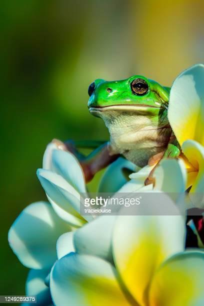 rana arboricola verde su un frangipani - composizione verticale foto e immagini stock