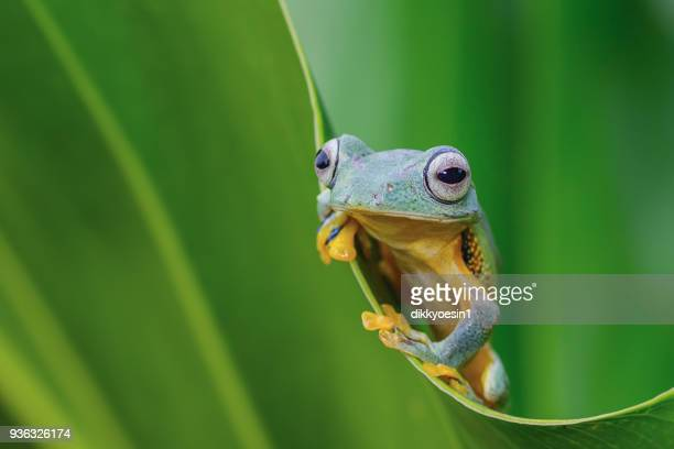 green tree frog on a leaf, west java, indonesia - frog stock pictures, royalty-free photos & images