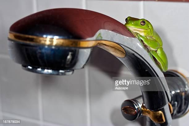 Green tree frog on a shower head Townsville Queensland Australia