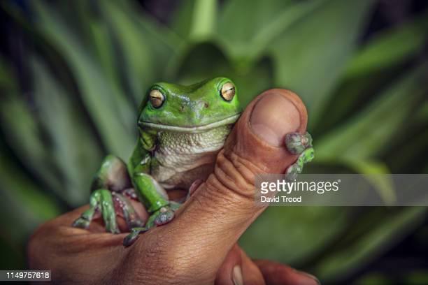 green tree frog - especies amenazadas fotografías e imágenes de stock