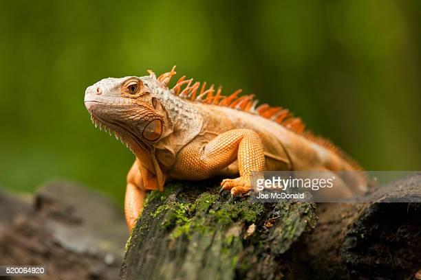 green tree iguana, iguana iguana, central and northern and central south america. unusual orange color morph. - iguana fotografías e imágenes de stock