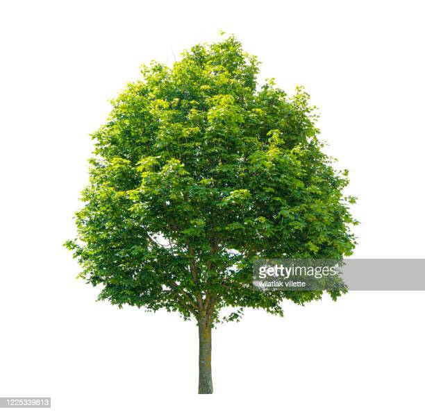 green tree  on a white background - tree stock pictures, royalty-free photos & images