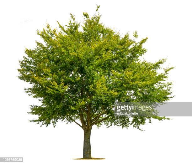 green tree on a white background. - baum stock-fotos und bilder