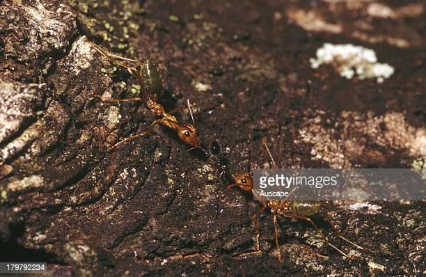 Green tree or Weaver ants Oecophylla smaragdina Adelaide River Northern Territory Australia