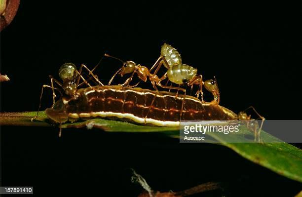 Green tree or Weaver ants taking 'honeydew' from lycaenid butterfly larva Hypolycaena phorbas Tropical Queensland Australia