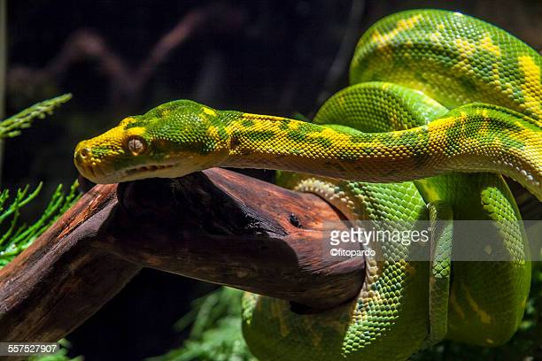 green tree phyton - yellow burmese python stock pictures, royalty-free photos & images