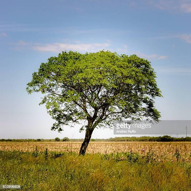 green tree - andres ruffo stockfoto's en -beelden