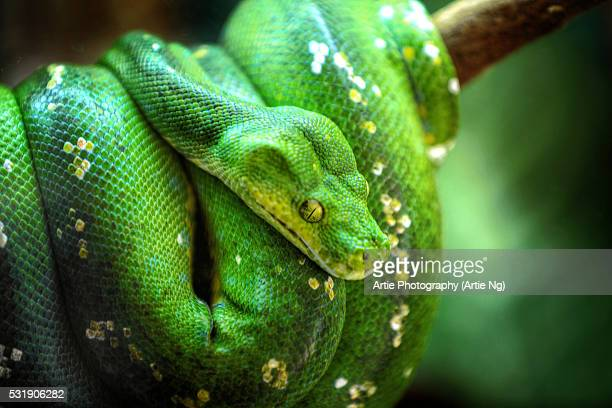 A Green Tree Python in Cairns, Far North Queensland, Australia