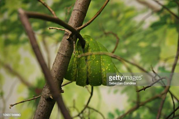 Green tree python in the tropical forest,Wildlife animal, Malaysia