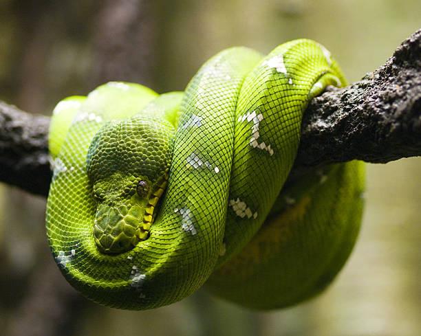 Green Tree Python Wall Art
