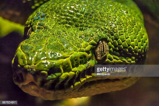 green tree python - reptile pattern stock pictures, royalty-free photos & images