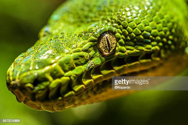 green tree python - burmese python stock pictures, royalty-free photos & images