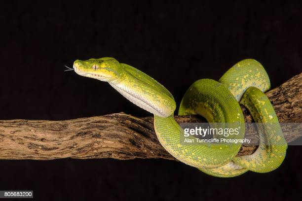 green tree python - python snake stock pictures, royalty-free photos & images