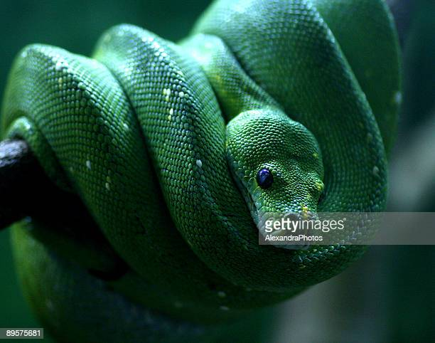 green tree python - taronga zoo stock pictures, royalty-free photos & images