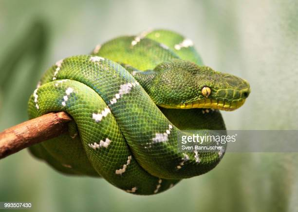 green tree python - feather boa stock pictures, royalty-free photos & images