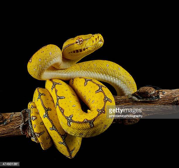 green tree python ready to strike - snake stock pictures, royalty-free photos & images