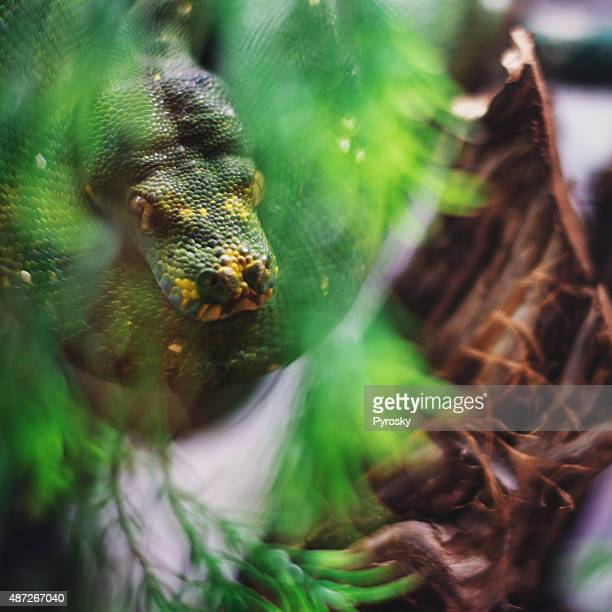 Green tree python - Stock
