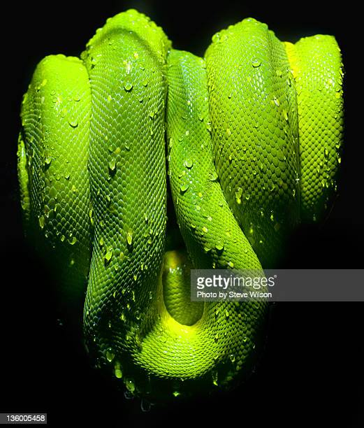 Green tree python with water droplets