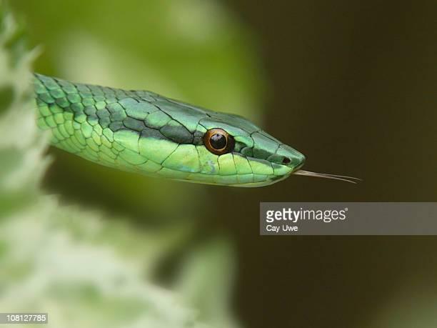 Green Tree Snake mit Zunge heraus