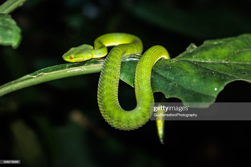green tree viper on jungle trek : Stock Photo