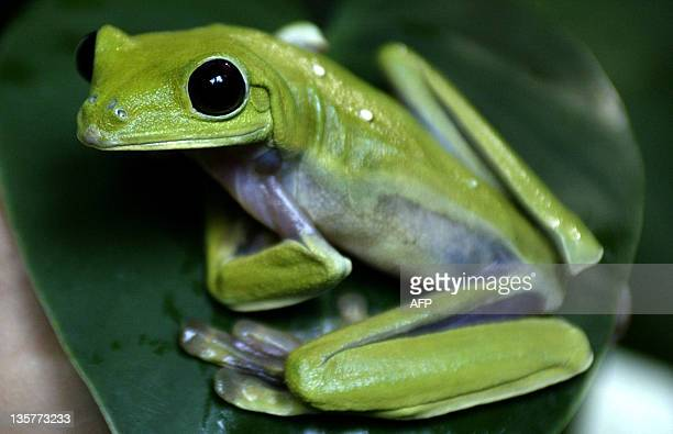 A green treedwelling frog perches on a leaf at Cali Zoo on April 29 2008 in the department of Valle del Cauca Colombia during an exhibition of...