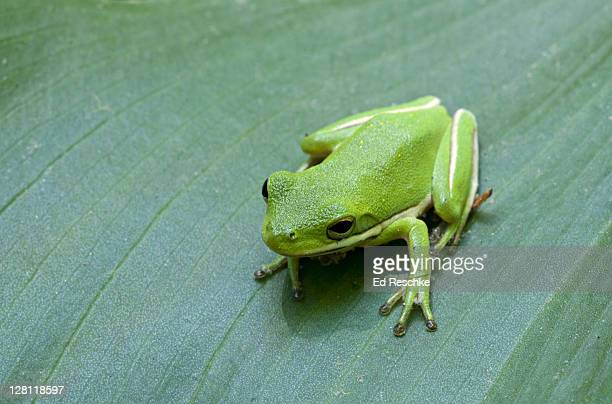 green treefrog, hyla cinerea, magnolia plantation & gardens, charleston, south carolina, usa. usually bright green, but the color is variable. many individuals have golden spots on their backs. - frog stock pictures, royalty-free photos & images