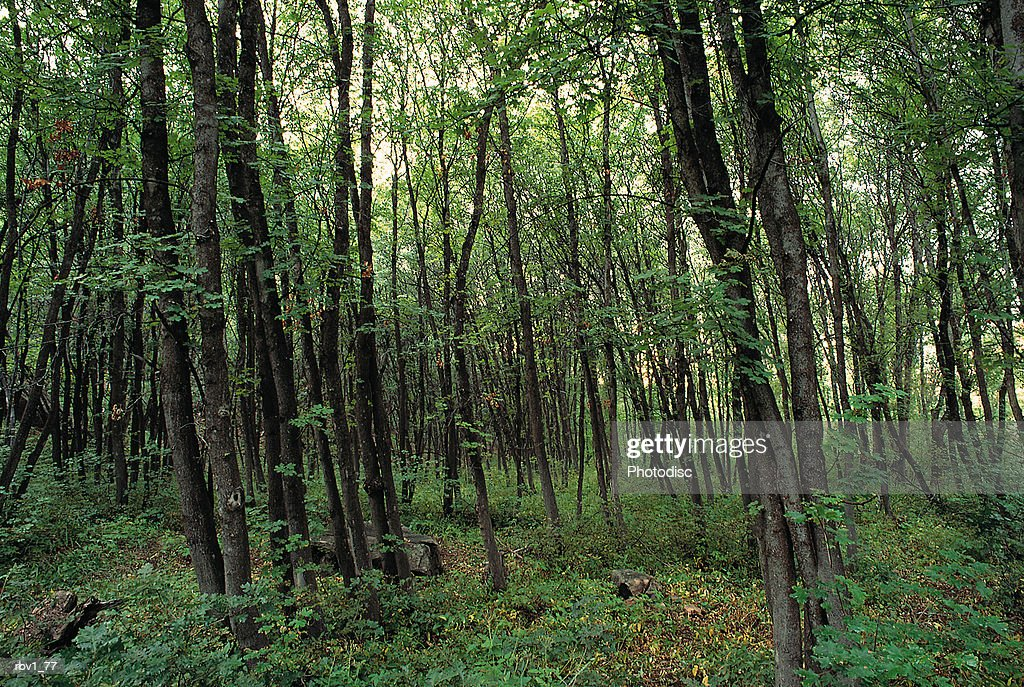 green trees fill a forest as bushes and dead leaves cover the ground : Foto de stock