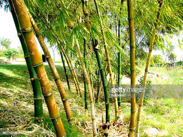 green trees  - hussein52 stock photos and pictures