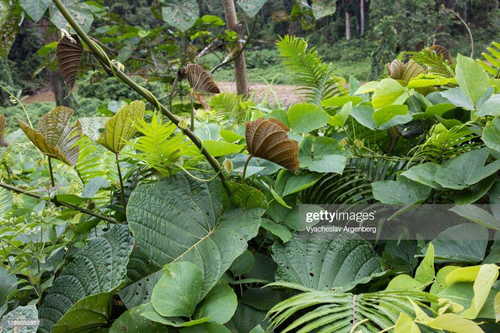 Green tropical flora, Borneo : Stock Photo