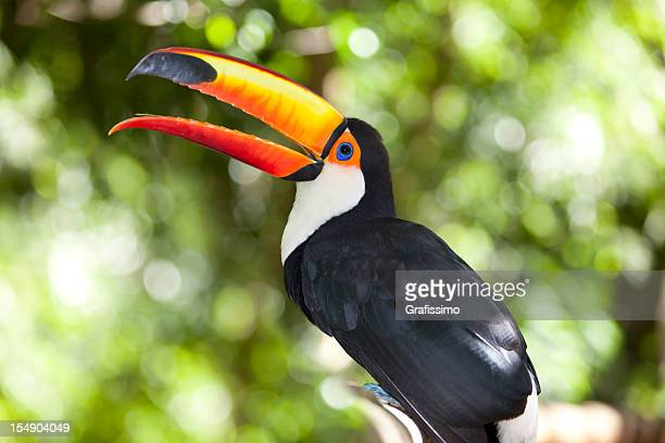 green tropical rainforest with toco toucan - toucan stock photos and pictures