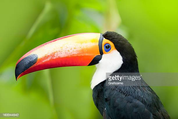 Green tropical rainforest with Toco Toucan