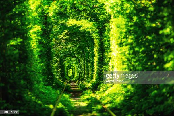 green tunnel of trees in the forest . tunnel of love. klevan, ukraine. - ウクライナ トンネル ストックフォトと画像