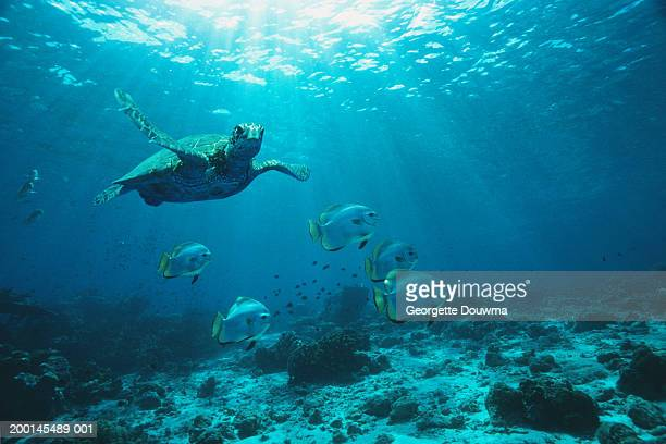 Green Turtle and Longfin batfish swimming over reef, underwater view