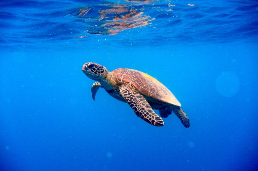Green turtle approaching water surface 504241856