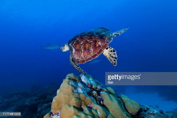 green turtle chelonia midas swimming over hard coral reef, palau, micronesia - green turtle stock pictures, royalty-free photos & images