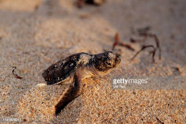 Green turtle Chelonia mydas is found in all oceans A nest contains about 100 eggs Hatchlings try to avoid many predators during their escape to the...