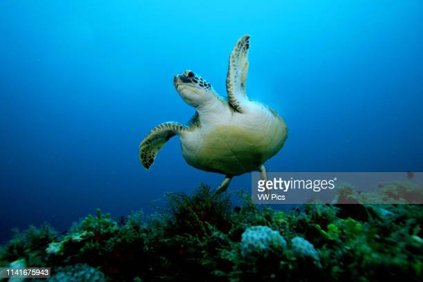 Green turtle Chelonia mydas is found in oceans worldwide They are endangered and are named for greenish color of body fat They feed on algae and...