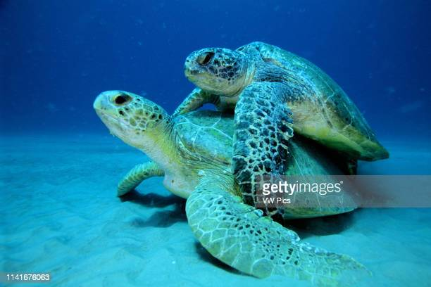 Green turtle Chelonia mydas is found in oceans worldwide They are endangered and while mating the male grasps the female with the claw on his front...