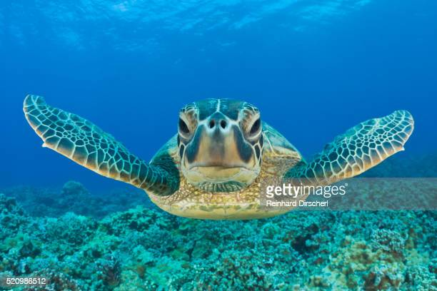 green turtle, chelonia mydas, maui, hawaii, usa - green turtle stock pictures, royalty-free photos & images