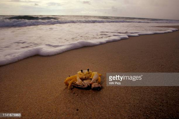 A Green turtle Chelonia mydas preyed upon by ghost crab Florida Atlantic Ocean
