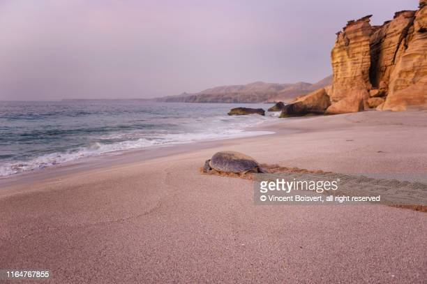 green turtle crawling back to the sea after having laid eggs on the ras al-jinz turtle beach, sur, oman - sea life stock pictures, royalty-free photos & images