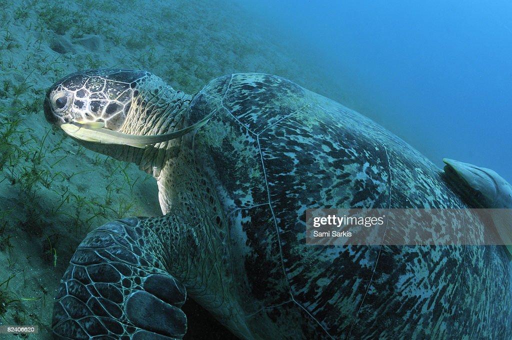 Green turtle (Chelonia midas) eating on  : Stock Photo