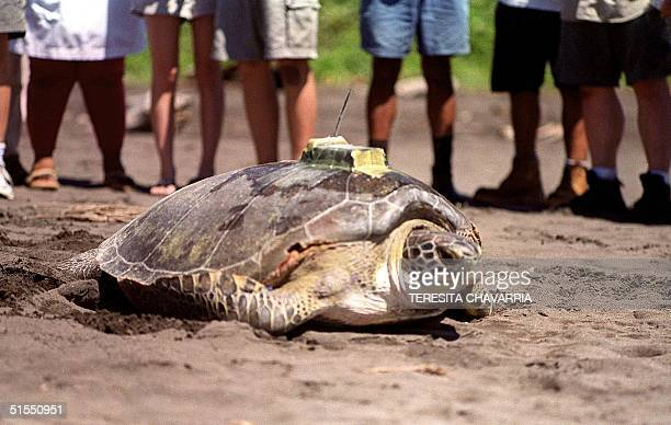 A green turtle enters the sea 20 July 2000 with a transmitter placed in its shell at the biologicaL station of the Caribbean Conservation Corporation...