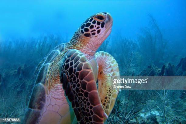 Green Turtle going up for air, photographed on a dive site called Asta, in Barbados
